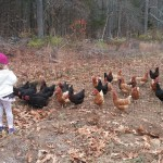 Chickens in the pasture at Sweet Acre Farm in Lebanon