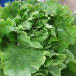 Head lettuce from Riverbank Farm