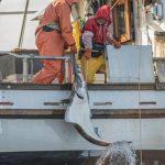 Landing a halibut