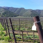 Chardonnay Vines and the Santa Lucia Range