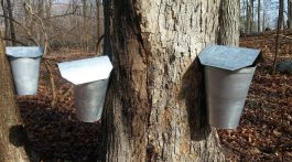 Collecting sugar maple sap