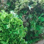 Green and red leaf lettuce