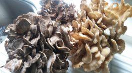 Myriam's haul of Hen of the Woods