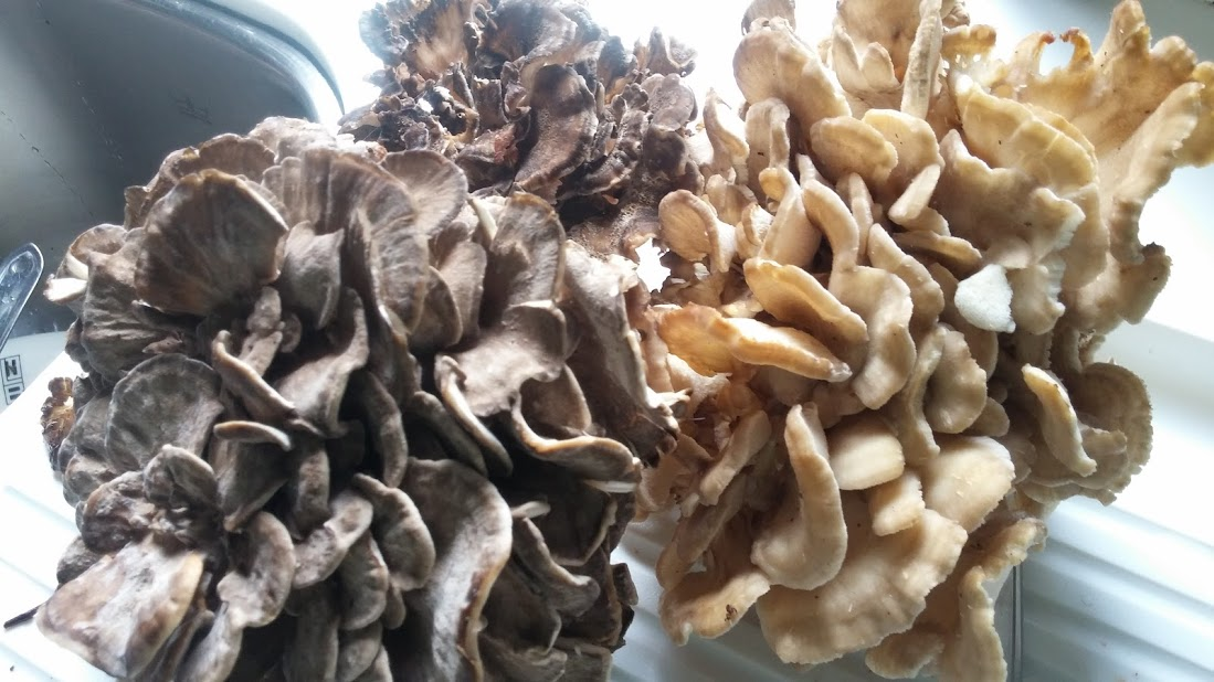 Myriam's haul of Hen of the Woods