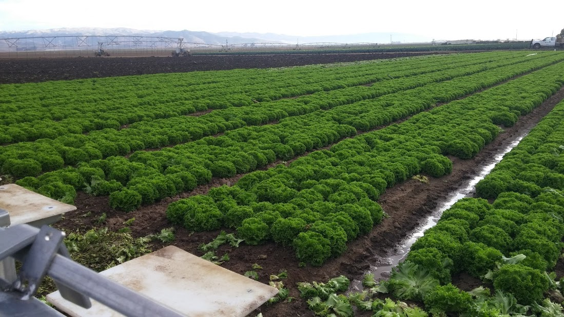 Lettuce about to be picked in the Salinas Valley