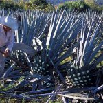 2. Harvesting Blue Agave gettyimages-515663332
