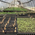 Seedlings in greening up at Sweet Acre Farm