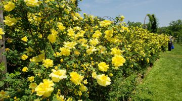A hedge of yellow roses at the  Elizabeth Park Rose Garden