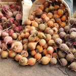 Chioggia, gold, and red beets